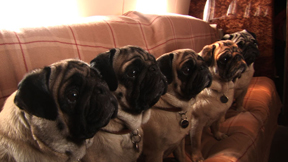 His Pugs watch the fitting for the grand finale.