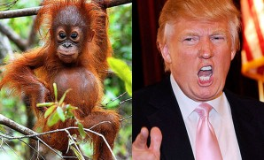 Donald Trump and this orangutan go to the same hair stylist. Hence, his new nickname is The Orange-utan.